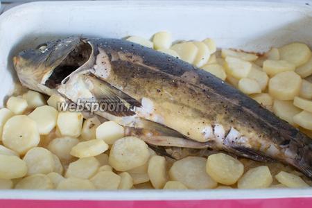 На дно жаровни (или противень) плесните немного масла, положите пассерованный лук, также немного лука положите в брюшко рыбы, на лук уложите рыбу, которую предварительно можно посолить и поперчить, а вокруг положите картофель. Присолите и поперчите, и отправьте в духовку (180°С). Запеките до готовности (примерно 1 час).
