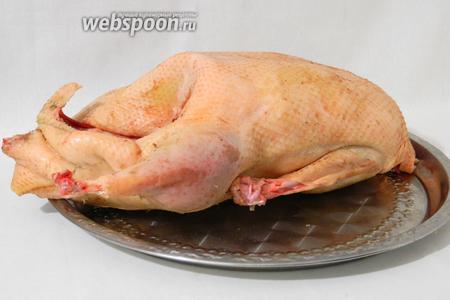 У подготовленной тушки гуся срезаем жир, шею и нижнюю часть крыльев. Шомпуром делаем проколы в ножках, вокруг ножек и по бокам в сторону грудинки.